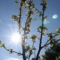 #drzewo #Bralin #wiosna #kwiaty #słońce #flara