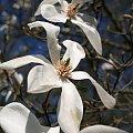 magnolie w Ogrodzie Botanicznym w Powsinie #magnolie #wiosna #kwiaty
