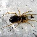 PZK - miniaturowy pająk na tynku - makro #makro #pająk #pzk #klub #hot #ściana #brzydki