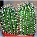 #kaktus #kwiat #zieleń
