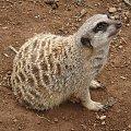 Surykatka- mały ssak drapieżny #Teneryfa #zwierzątka #surykatka #JunglePark