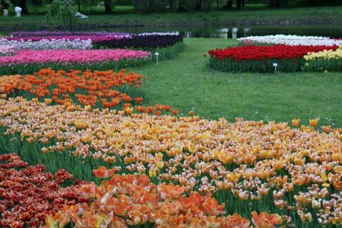 Różne odmiany tulipanów #OgródBotaniczny