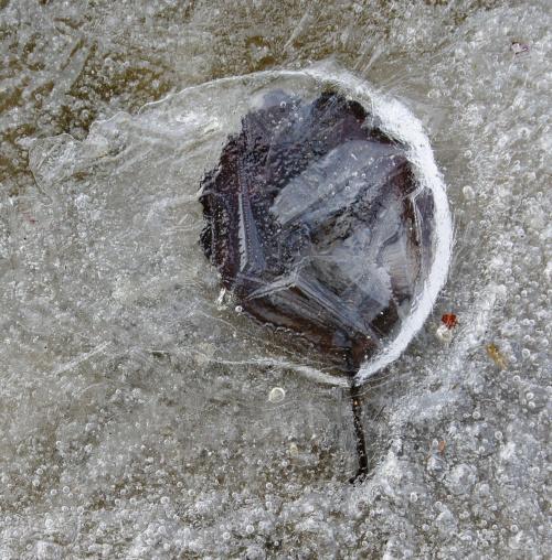 fotka z szuflady.. #zima #natura #lód #liść
