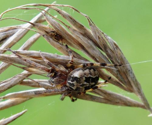 pająk opiekun #pająk #owady #natura #przyroda #pajęczyna