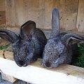 #królik #zwierzę #przyroda #króliczek