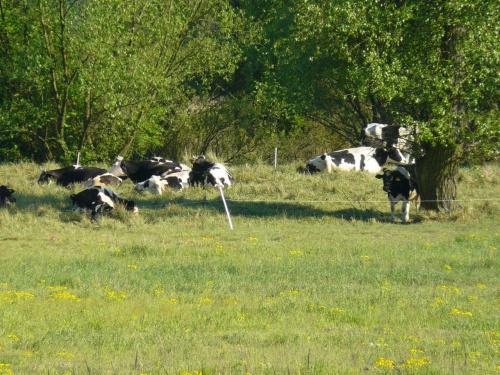 #natura #krowy #zwierzęta