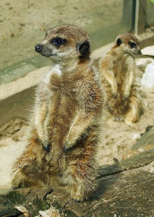 #surykatki #karków #zoo