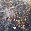 wierzba mandżurska #krzewy