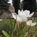 Krokusy i Karkonosz :) #karpacz #krokusy #park #wiosna