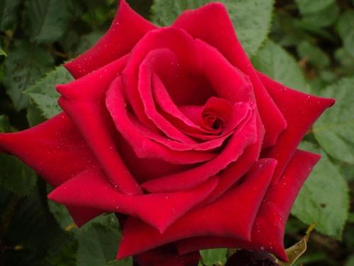 Z najlepszymi życzeniami urodzinowymi dla Alicji:) (alicjiszrednickiej) #kwiat #róza #kolor #natura #życzenia