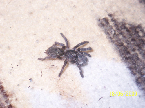 C. meridionalis maluch ze 2,5dc