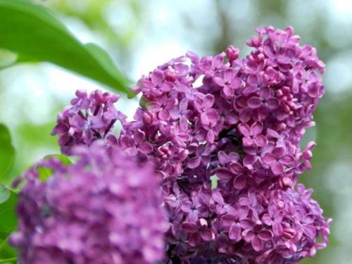 Pozdrowienia pachnące bzem:)