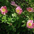 nn #kwiaty #piwonie