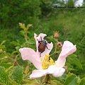 żuk #kwiaty #pszczoła #żuk