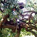 powyginane drzewo jarzębiny #drzewo #jarzębina #park #skwer