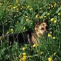 wśród mleczy #owczarki #pieski #psiaki #psy #OwczarkiNiemieckie #mlecze #kwiaty #kwiatki #KwiatyPolne