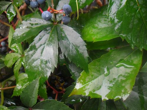 #deszcz #liść #przyroda #natura #pnącza