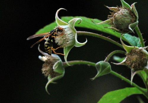 osa i kwiat maliny #makro #natura #owady #przyroda #ogródek