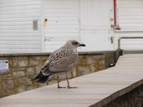 Brzydkie mewiątko. #mewa #MłodaMewa #seagull #ptak #ptaki