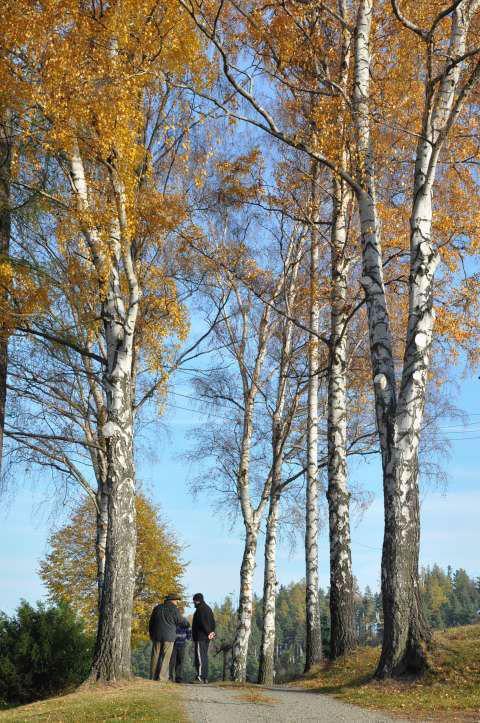 Dostojne brzozy #jesień