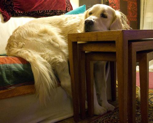 #zwierzęta #pies #psy #GoldenRetriver
