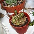 Gymnol #gymnocalycium #kaktus #sukulent #pąk #pąki