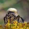 #pszczoła #owad #makro