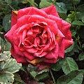 #kwiat #kwiaty #ogród #rosa #rośliny #róża #RóżaMiniatura #róże