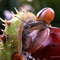 Smakowanie jesieni :-))) #ślimaki #kasztany #jesień