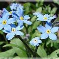 """"""" Niezapominajki to są kwiatki z bajki! Rosną nad potoczkiem, patrzą rybim oczkiem...."""" #kwiaty #niezapominajki #ogród #wiosna"""