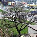 25 kwietnia 2013 #Lipa #wegetacja #zima #wiosna #PoryRoku