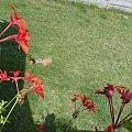 Ćma- Fruczak gołąbek kręcąca się wokół pelargonii. #ćma #motyl #fruczak