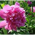 #kwiaty #lato #ogród #piwonie