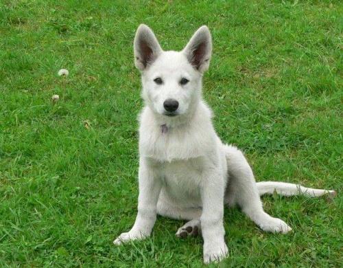 Mesi Białe Wzgórza #BiałyOwczarekSzwajcarski #BOS #pies #psy #owczarki #szczenięta #hodowle