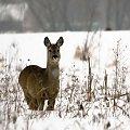 #sarna #pola #łąki #zwierzęta
