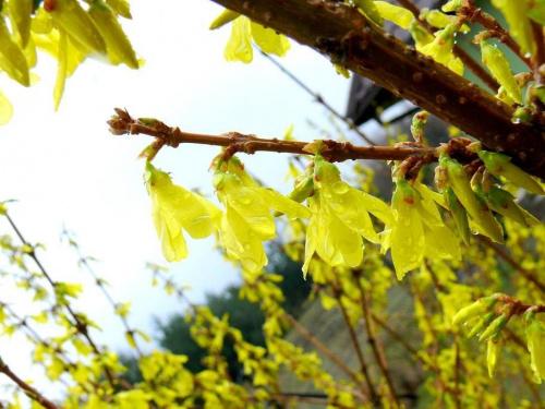 pierwszy kolor wiosny #forsycja #forsycje #deczcz #wiosna