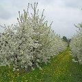 Wiśnia w kwiecie #drzewo #kwiat #wiśnia
