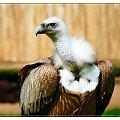 Podobno - Sep Plowy ! #ptak #sep #zwierzeta #pisklak #mlody