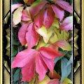 Dzikie wino w barwach jesiennych, po prostu samo piekno! #jesień #DzikieWino #PSP #grafika #kolory