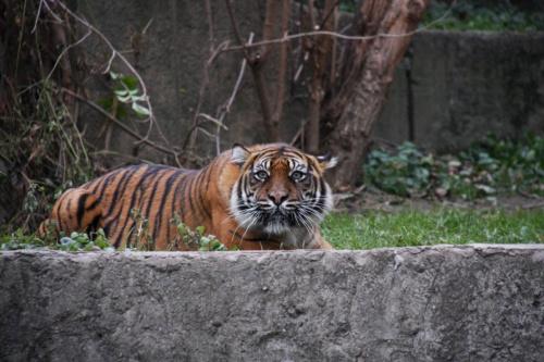 przyczajony tygrys... #kot #zwierzęta #zoo #tygrys