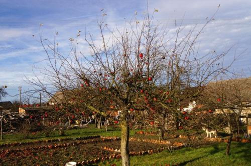 Tych owoców jesień jeszcze nie dotkneła... #jabłko #jesień #drzewo #czerwone