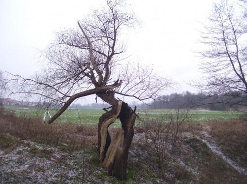 Rozdarte drzewo nad Białuchą #Kraków #Białucha #drzewo
