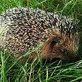 #jeż #zwierzęta #przyroda #natura #sorux #kolce