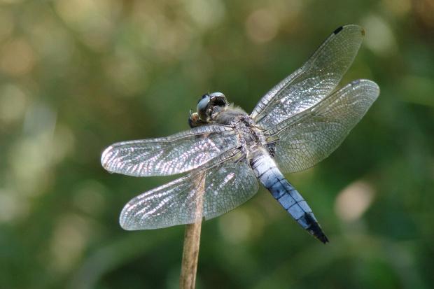 #ważka #ważki #insekty #owady