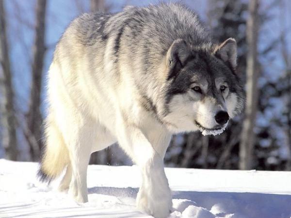 #wilk #dzicz