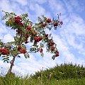#jarzębina #niebo #natura #chmury #drzewo