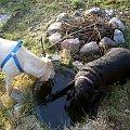 ...usiłują dostać się do wody, zlizujac 20 cm taflę lodu! #psy #labradory #Ness #Xena