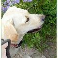 Namalowane-Ness w ogrodzie #namalowane #inaczej #przeróbki #Ness #labrador #WOgrodzie #pies