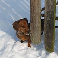 Florek wyrusza w świat za ogrodem. #jamnik #pies #zima