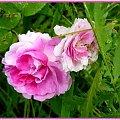 Moje róże angielskie,namalowane #róże #malowane #inaczej #przeróbki